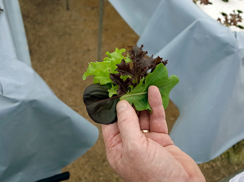 peninsula farms lettuce